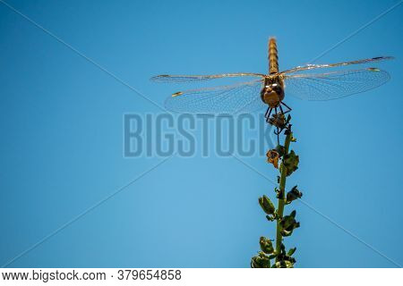 A Meadowhawk Dragonfly In Antelope Island State Park, Utah