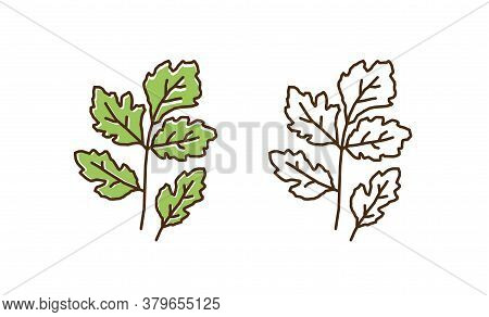 Set Of Colorful And Monochrome Cilantro In Line Art Style. Natural Vitamin Plant With Leaves And Ste