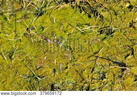 Marshland With Algae In A Standing Water