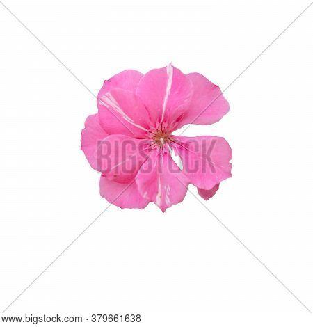 Oleander Flower . Beautiful Single Pink Oleander Flower Isolate White Background, Oleander Flower Te