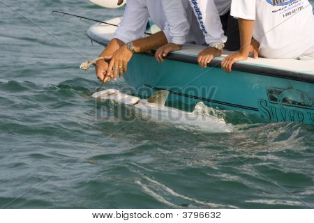 A Tarpon Going To The Weigh-In