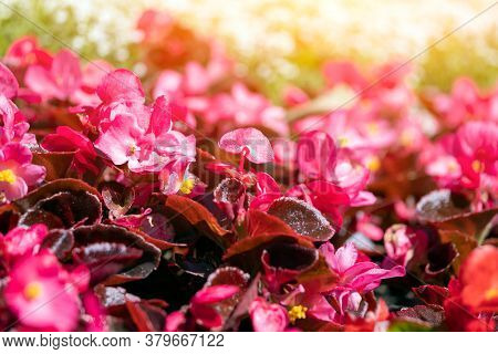 Close-up Of A Beautiful Pink Flowers,soft Focus