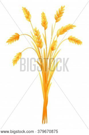 Ripe Ears Of Wheat Bunch Vertical Closeup Isolated Composition, Group Of Agriculture Cultivated Plan