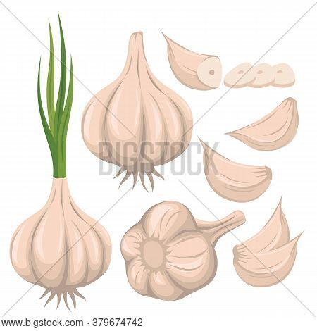 Garlic Vector Set Illustration With Whole Garlic, Sliced Of Garlic