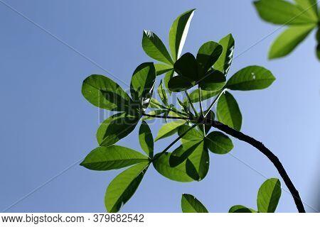 The Leaf Of The Adansonia Digitata Baobab Tree On A Blue Background