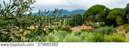 Green Olives Tree On Background House And Mountains
