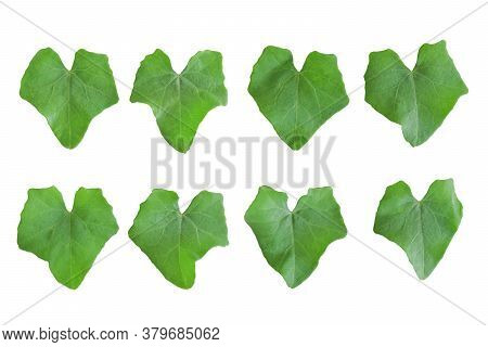 Set Of Leaf Ivy Gourd Isolated On White Background. Object With Clipping Path.