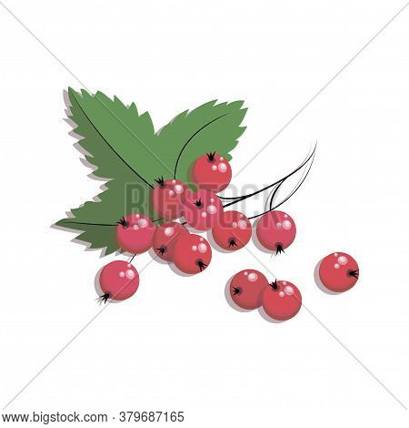 Red Currant. Vector Currant Berries. Twig Redcurrant With Leaf Isolated On White Background. Poster,