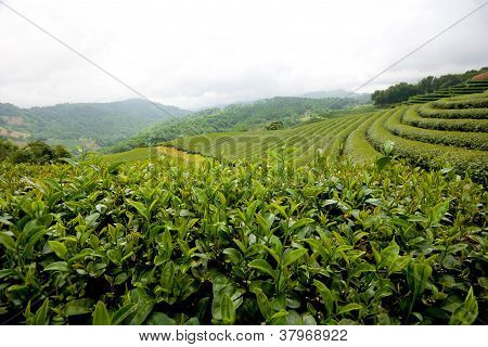 Green Tea Field at Chiang Rai