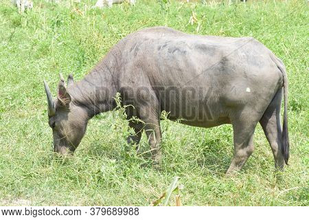 Water Buffalo Eating Grass In Field. Asia Buffalo Is A Large Bovine Native To The Southeast Asia.