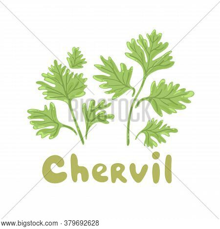 Chervil Herb Isolated On White Background. Chervil Branch With Leaves. Herbal Plants Chervil Or Fren