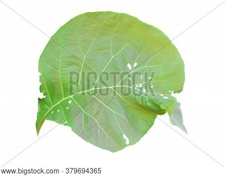 Green Teak Leaf Isolated On White Background. Object With Clipping Path.