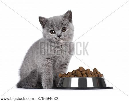 Cute Blue Tortie British Shorthair Cat Kitten, Sitting Beside Aluminium Bowl Filled With Brown Dry C