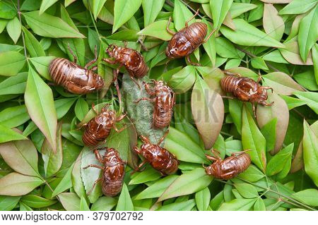 Cicadas Shell Isolated On Green Leaves Background. Top View.