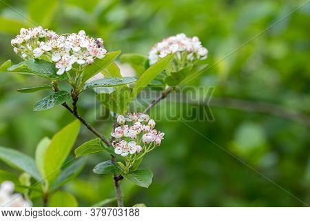 White Blackthorn Flowers On A Background Of Green Fresh Leaves, Natural Background With Copy Space