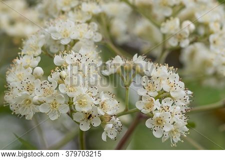 Wild Sorbus, Red Rowan And Mountain Ash Tree Blossoms Blooming In Spring. Beautiful Tender Flower On