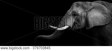 Black And White Face Elephant. Portrait African Elephatn On The Black Background.  African Elephant