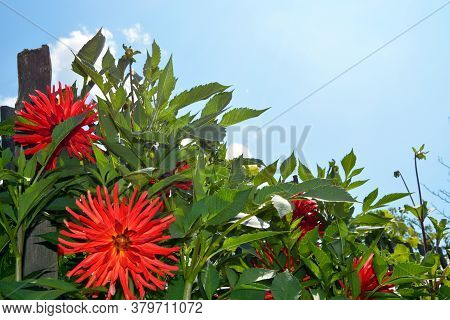 Dahlia Close-up Against The Blue Sky. Shrubs In The Garden On A Sunny Day. Decoration Of Fences With