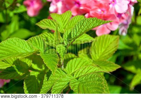 Green Raspberry Leaves On A Blurry Background Of Blooming Phlox. Shrubs In The Garden In Autumn.
