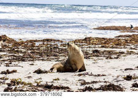 Cute Australian Sea Lion On The Kangaroo Island Coastline, Seal Bay, South Australia.