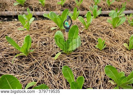 Green Cos Lettuce Or Cos Romaine Lettuce On Organic Farm.