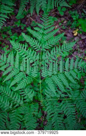 Fern Leaf Close Up. Fern In The Forest.