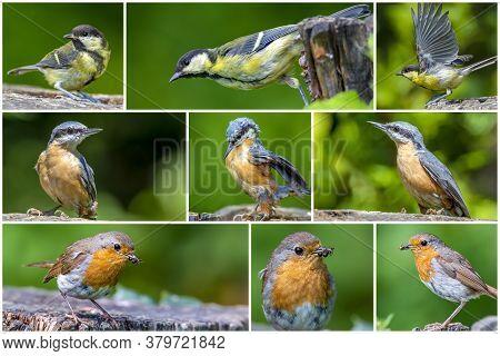 Bird Collage Set. Great Tit,  European Nuthatch, Robin Bird,