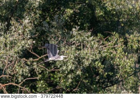 A Gray Heron Flies In Front Of The Thick Green Vegetation