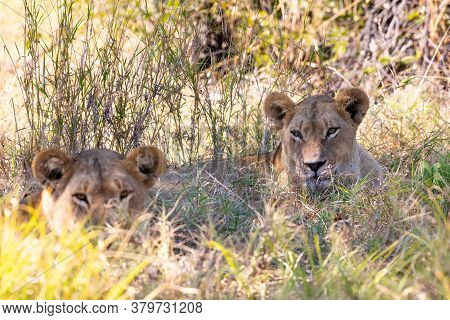 Young Lions (panthera Leo) Without A Mane Resting In Shade In Natural Habitat Savuti Game Reserve. B