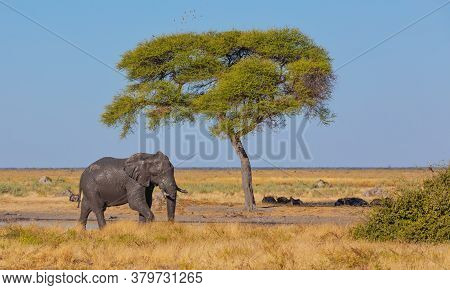 Dirty And Muddy African Elephant In Savanna With Alone Acacia Tree. Savuti, Chobe National Park, Bot