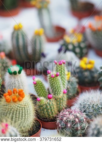 Cactus Tree Green Trunk Has Sharp Spikes Around Blooming In Plastic Pots Colorful Flower