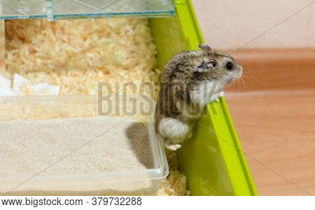 The Djungarian Dwarf Hamster Is Escaping From The Cage.