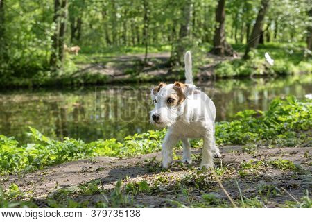 White Jack Russell Terrier Puppy In The Park On The Shore Of The Pond, Pet