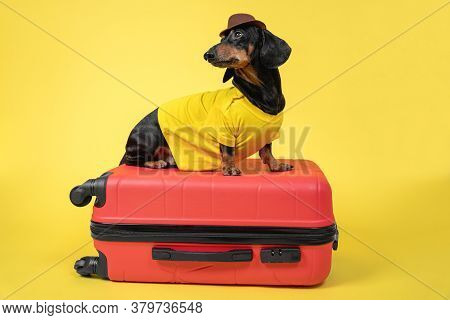 Funny Dachshund Dog In Summer T-shirt And Hat Gathers Things For Vacation On Trip, Sit On Suitcase O