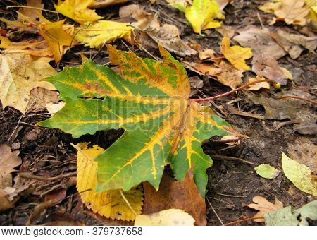 Bright Nerved Yellow Autumn Maple Leaf On A Ground