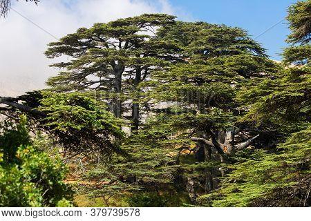 Crowns Of Lebanon Cedars With Blue Sky On Background. The Cedars Of God Grove In Qadisha Valley On M
