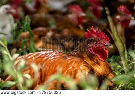 Chick Sits In The Foreground, A Flock Of Chicks On A Blurred Background. A Flock Of Chickens Roam Fr