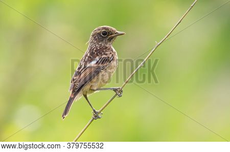 European Stonechat, Saxicola Rubicola. Young Bird Sits On A Thin Twig.