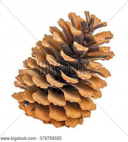 Dry Ginger Pine Cone Isolated On White Background
