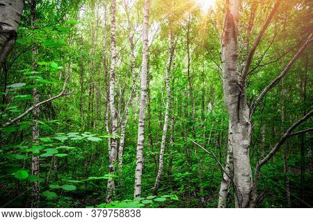 Birch Trees With White Barch In A Green Forest In The Springtime