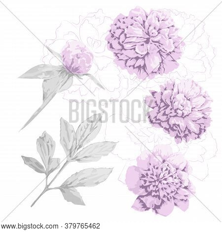 Set Of Pink Peony Flowers, Bud And Gray Leaf. Three Kinds Of Head Piony Flowers And Contours Of It,