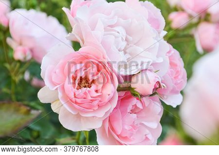 A Bush Of Pale Pink Blooming Roses With Buds Is In The Garden Against Other Blurry Roses. Pink Roses