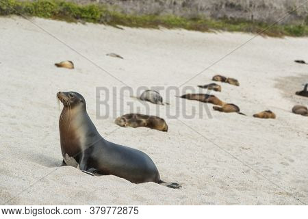 Galapagos Sea Lion in sand lying on beach. Many Galapagos Sea Lions on cruise ship adventure travel holidays vacation, La loberia beach, San Cristobal, Galapagos, Ecuador, South America