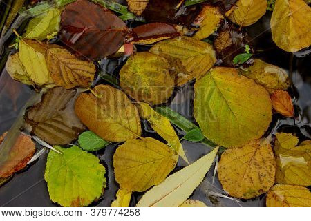 Colorful Leaves On The Water Surface. Nature, Autumn Background. Yellow Leaves In A Puddle.