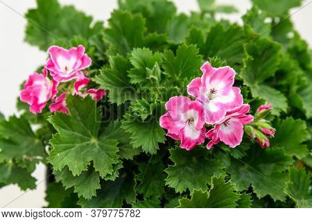 Vivid Pink Pelargonium Flowers (commonly Known As Geraniums, Pelargoniums Or Storksbills) And Fresh