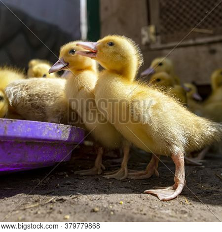 A Group Of Ducklings. Cute Beautiful Yellow Ducklings Eat Grain And Walk Outdoors. Young Birds. Agri
