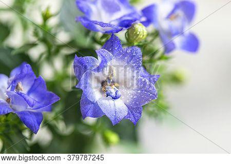 Campanula, Bellflower Patula, Flowers. Summer Floral Concept.