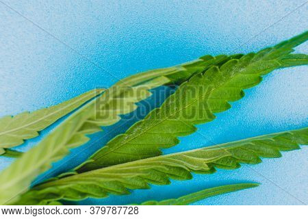 Fresh Leaves Of Hemp Weed On Light Blue Background, Macro Image.