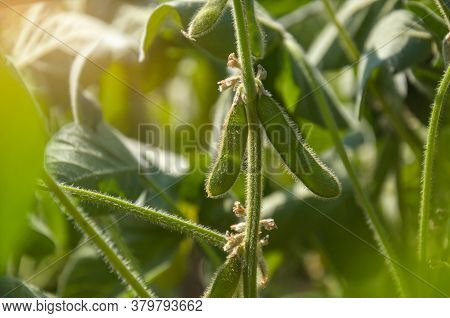 Soybean Pods On A Young Soybean Plant In The Sun. Agricultural Soybean Plant. Stalk Of A Soybean Pla