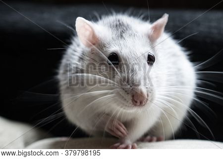 A Tame Rat Looks Into The Frame In The Center Of A Dark Background